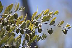 Jojoba Plant Seeds